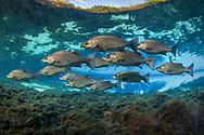 Hybrid Striped Bass (Sunshine Bass)<br /> <br /> Isaac Szabo/Engbretson Underwater Photography
