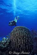 diver examines giant barrel sponge, Xestospongia muta, Ambergris Caye, Belize, Central America ( Caribbean ) MR 127