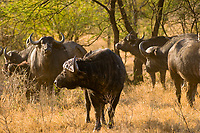 Cape Buffalo, Serengeti National Park, Tanzania