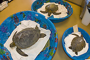 Green Sea Turtles (Chelonia mydas) rescued and being rehabilitated at the Loggerhead Marinelife Center of Juno Beach, FL after an unusual strong cold front.