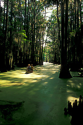 Stock photo of Bald Cypress - Taxodium distichum - Caddo Lake, Harrison County, TX