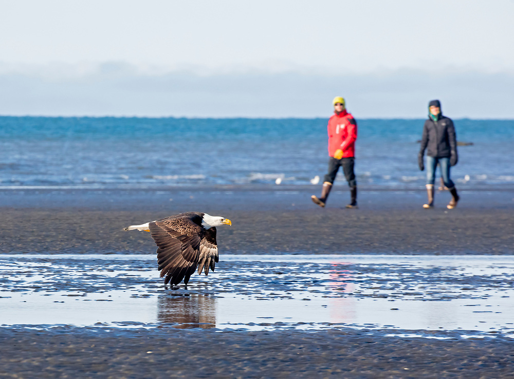 Alaska. Beach walkers watch a Bald Eagle (Haliaeetus leucocephalus) fly by in awe, Kachemak Bay, Homer.