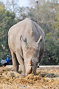 Close up of a Southern White Rhinoceros Ceratotherium simum front view with a peacock