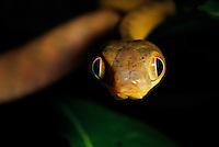 Close-up of a cat snake (Echinosorex gymnura).  It hunts mostly frogs and lizards at night.  .Danum Valley Conservation Area, Borneo Island, Malaysia.