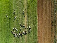 Aerial view of a shepherd and grazing flock of sheep at beautiful Karditsa region, Greece