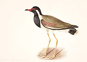 Red-wattled lapwing (Vanellus indicus). This wading bird is found throughout West Asia, South Asia, southeast Asia and the Indian subcontinent. It nests in marshes and other freshwater wetland habitats. It feeds on insects, invertebrates and aquatic vegetation. 18th century watercolor painting by Elizabeth Gwillim. Lady Elizabeth Symonds Gwillim (21 April 1763 – 21 December 1807) was an artist married to Sir Henry Gwillim, Puisne Judge at the Madras high court until 1808. Lady Gwillim painted a series of about 200 watercolours of Indian birds. Produced about 20 years before John James Audubon, her work has been acclaimed for its accuracy and natural postures as they were drawn from observations of the birds in life. She also painted fishes and flowers. McGill University Library and Archives
