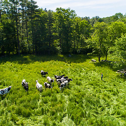 Jacob Scruton walks in a pasture at the Scruton dairy farm in Farmington, New Hampshire.