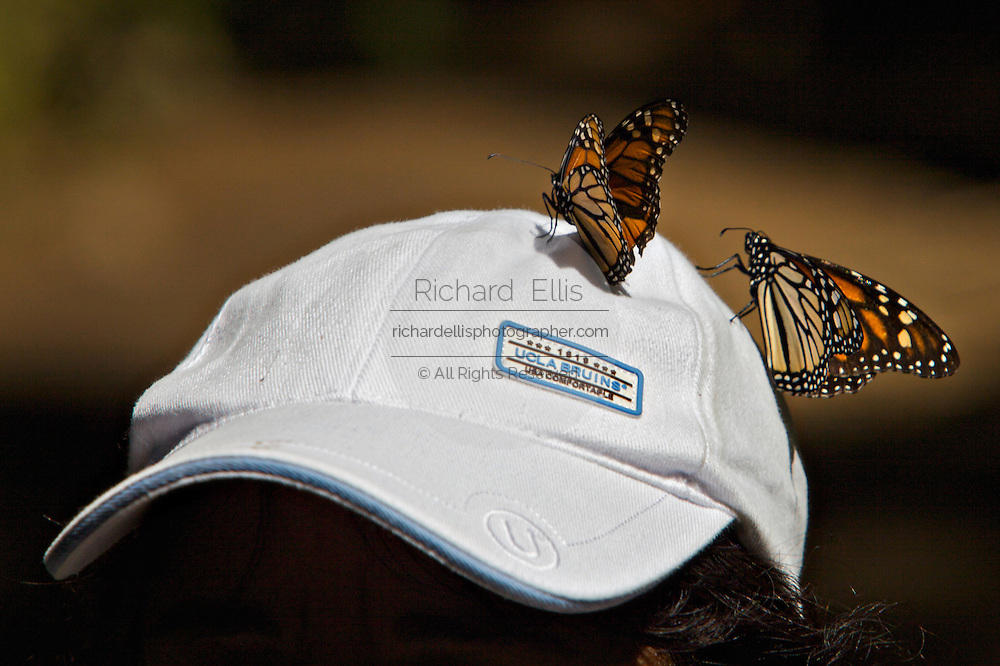 Monarch Butterflies gather on a tourists hat at the Monarch Butterfly Biosphere Reserve in El Rosario central Mexican in Michoacan State. Each year hundreds of millions Monarch butterflies mass migrate from the U.S. and Canada to Oyamel fir forests in the volcanic highlands of central Mexico. North American monarchs are the only butterflies that make such a massive journey—up to 3,000 miles (4,828 kilometers).