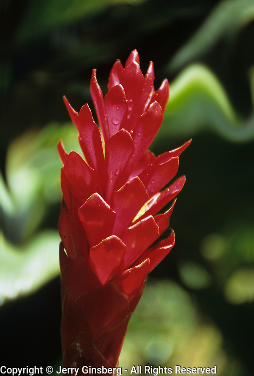 Exotic red ginger indigenous to Hawaii.