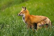 A Colorado red fox nurses the little ones.