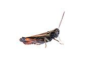 IFTE-NB-007416; Niall Benvie; Omocestus rufipes; Austria; grasshopper; Europe; Tirol; Fliesser Sonnenhänge; insect arthropod invertebrate; horizontal; high key; black white red; controlled; one; grassland meadow upland; 2008; July; summer; strobe backlight; Wild Wonders of Europe Naturpark Kaunergrat