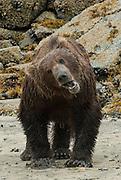 North America, USA, Alaska, Katmai National Park, A brown bear on the beach in Kaflia Bay, shows his teeth with some facial expressions.