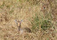 Female (left) and male Kirk's Dik Dik, Madoqua kirkii, in Serengeti National Park, Tanzania