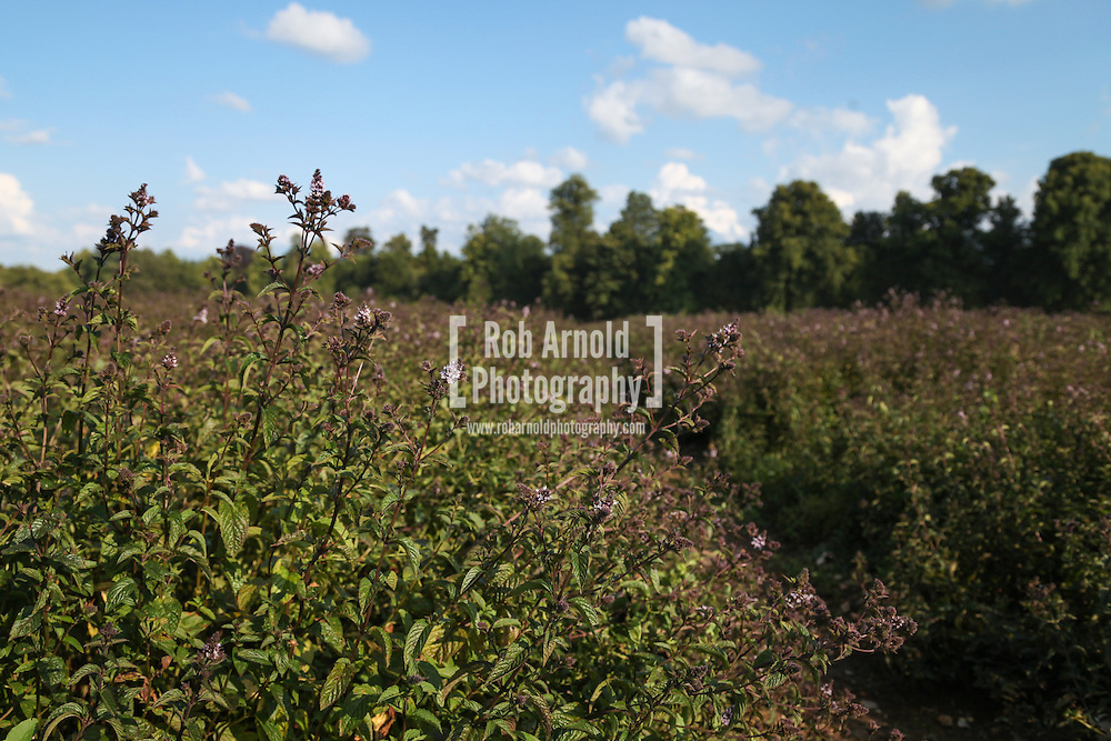 © Rob Arnold.  06/08/2014. Hampshire, UK. Black Mitcham peppermint in the fields on the Malshanger estate. The peppermint will soon be harvested to be turned into tea and oil, which is used in chocolate making and other food products. The farm grows mint, lavender and camomile as their 'aromatic' crop, along with the staple farm crops such as wheat, barley and oats. The oil is available direct from Summerdown Mint, but is also available from Neal's Yard in London. The tea is sold at leading retailers nationwide, including Booth's, Harvey Nichols, Partridge's & Waitrose. Photo by Rob Arnold