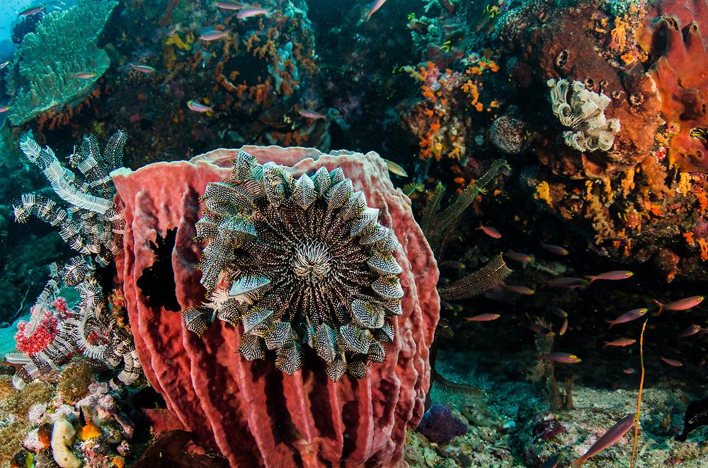 Giant Barrel Sponge (Xestospongia)<br /> & Feather stars<br /> Raja Ampat<br /> West Papua<br /> Indonesia