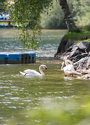 THEMENBILD - Höckerschwäne (Cygnus) am Nordufer des Zeller See, aufgenommen am 10. Mai 2018, Zell am See, Österreich // Mute swans (Cygnus) on the northern shore of Lake Zell on 2018/05/10, Zell am See, Austria. EXPA Pictures © 2018, PhotoCredit: EXPA/ Stefanie Oberhauser