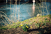 Maidenhead, Berkshire, United Kingdom, Monday, 01/03/2021, General View, Riverside Gardens, Daffodils growing beside, the River Thames, Thames Valley, [Mandatory Credit; Pete Spurrier],