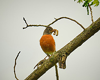 American Robin with worm. Image taken with a Fuji X-T3 camera and 200 mm f/2 lens + 1.4x teleconverter