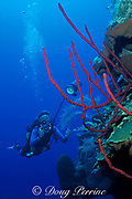 diver photographs red rope sponges,<br /> Aplysina cauliformis, West Bay Wall<br /> Grand Cayman Island ( Caribbean Sea )   MR 202