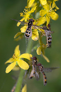 Hoverflies, on yellow flower, Syrphidae sp, UK, group together, hoverfly