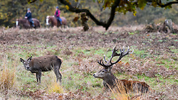 © Licensed to London News Pictures. 09/11/2019. LONDON, UK.  Horse riders pass behind red deer in Richmond Park during the annual rut.  The rut occurs during October and November where stags compete for mating rights.  Photo credit: Stephen Chung/LNP