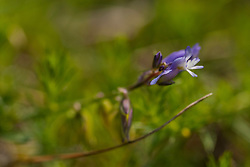 Gewone vleugeltjesbloem, Polygala vulgaris