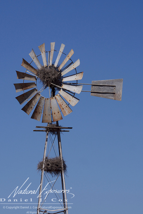 An abandoned windmill offers a safe building site for the nests of buffalo weavers, Timbavadi Game Reserve, South Africa.