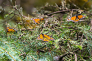 Monarch butterflies warm in the sun as they over-winter in the Sierra Chincua Biosphere Reserve January 20, 2020 near Angangueo, Michoacan, Mexico. The monarch butterfly migration is a phenomenon across North America, where the butterflies migrates each autumn to overwintering sites in Central Mexico.