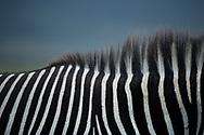 Close up of Grevy's Zebra stripes in Lewa, Kenya.