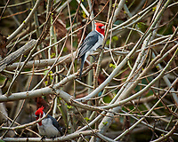 Red Crested Cardinal at Mālaekahana State Recreation Area . Image taken with a Nikon 1 V3 camera and 70-300 mm lens (ISO 400, 300 mm, f/5.6, 1/400 sec).