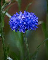 Bachelor Button (Cornflower) flowers. Image taken with a Nikon Df camera and 70-300 mm lens