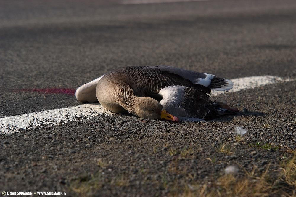 Greylag roadkill