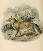 "The Tibetan fox (Vulpes ferrilata [Here as Thibet fox Canis ferrilatus]), also known as Tibetan sand fox, is a species of true fox endemic to the high Tibetan Plateau, Ladakh plateau, Nepal, China, Sikkim, and Bhutan, up to altitudes of about 5,300 m. From the Book Dogs, Jackals, Wolves and Foxes A Monograph of The Canidae [from Latin, canis, ""dog"") is a biological family of dog-like carnivorans. A member of this family is called a canid] By George Mivart, F.R.S. with woodcuts and 45 coloured plates drawn from nature by J. G. Keulemans and Hand-Coloured. Published by R. H. Porter, London, 1890"