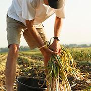 Garlic collector in the field, Espirat, Auvergne, France