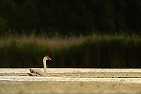 Mute swan, (Cygnus olor), Peene river, Anklam, Germany