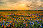 Sun's Rise Over Whitehall, Texas in a bluebonnet and paintbrush wildflower mix