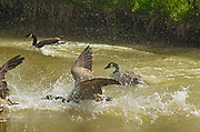 Canada geese (Branta canadensis) displaying territorial behaviour<br />