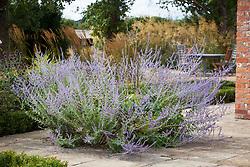 Perovskia atriplicifolia 'Blue Spire' on the terrace at Field's Farm