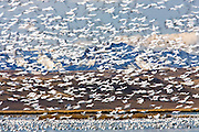 Snow Geese at Freezeout Lake
