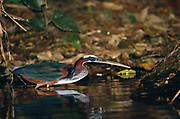 Agami Heron 'Hunting'<br />Agamia agami<br />Amazon. South America<br />Range: Tropical S. Mexico to n.Bolivia and W Amazonia Brazil