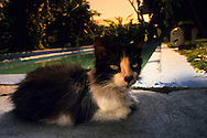 "USA, Vereinigte Staaten Von Amerika: Hauskatze (Felis catus domesticus), Felidae, ?Mr. Betty Davis? (ein Kater benannt nach den schönen Augen von Betty Davis) ruht sich am Swimming Pool aus, Hemingway Haus und Museum, Key West, Florida | USA, United States Of America: Domestic cat (Felis catus domesticus), Felidae, ""Mr. Betty Davis"" (a male named afer the pretty eyes of Betty Davis) resting at the swimming pool, Hemingway Home and Museum, Key West, Florida 
