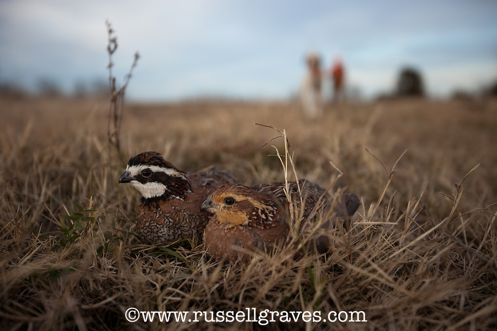 BOBWHITE QUAIL WITH ENGLISH POINTER AND QUAIL IN THE BACKGROUND