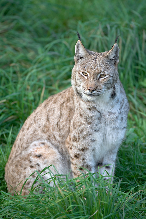 European Lynx Lynx lynx Length 80-120cm Coat is grey-brown with numerous dark spots and striking ear tufts. Tackles prey up to size of Roe Deer. Widespread but generally scarce across northern Europe and Asia.