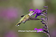 01162-14817 Ruby-throated Hummingbird (Archilochus colubris) at Amistad Salvia (Salvia amistad) in Marion County, IL