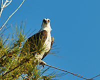 Osprey (Pandion haliaetus). Fort De Soto Park. Pinellas County, Florida. Image taken with a Nikon D300 camera and 200 mm f/2 VR lens and 2.0x TC-EII Teleconverter.