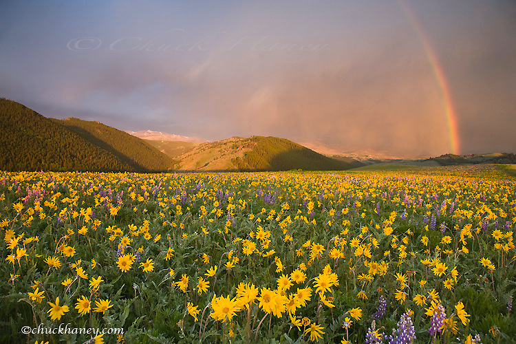 Spectacular wildflower meadow at sunrise in the Bighorn Mountains of Wyoming