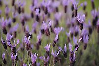 French lavender, Lavandula stoechas,  La Serena, Extremadura, Spain