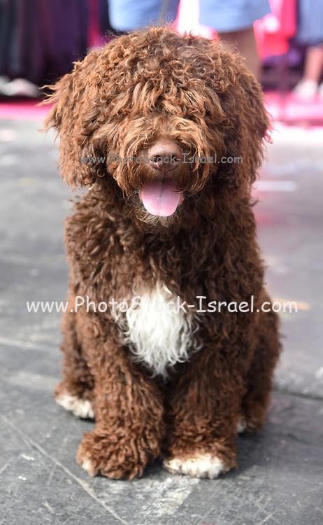 Portrait of a brown Spanish Water Dog (perro de agua español)
