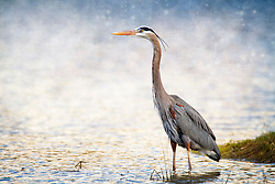 A Heron on the lake shore at Busch Memorial Conservation.