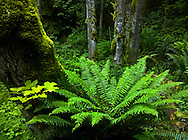 sword fern and moss covered Big Leaf Maple trees in a Pacific Northwest temperate rain forest on the Kitsap Peninsula in Puget Sound, Washington state, USA